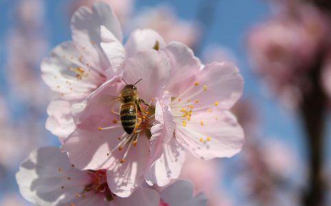 Mandelblüte mit Biene